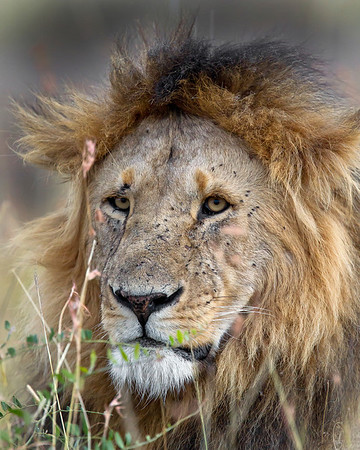This photograph of a male Lion was captured in Kenya, Africa (3/11).       This photograph is protected by the U.S. Copyright Laws and shall not to be downloaded or reproduced by any means without the formal written permission of Ken Conger Photography.