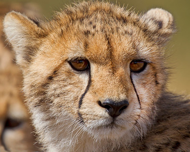 This photograph of a Cheetah cub was captured in Kenya, Africa (3/11).       This photograph is protected by the U.S. Copyright Laws and shall not to be downloaded or reproduced by any means without the formal written permission of Ken Conger Photography.