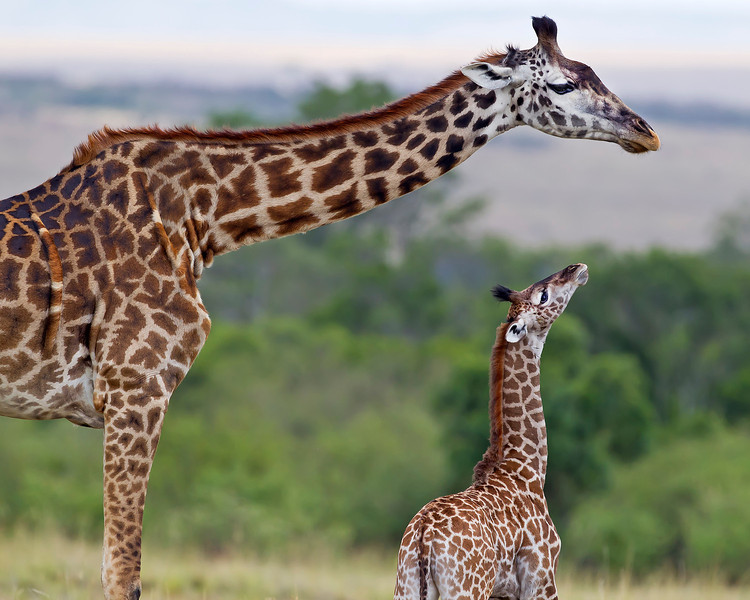 This photograph of a female and recently born Giraffe was captured in Kenya, Africa (3/11).       This photograph is protected by the U.S. Copyright Laws and shall not to be downloaded or reproduced by any means without the formal written permission of Ken Conger Photography.
