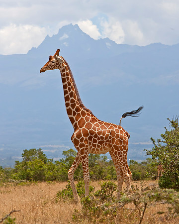 This photograph of a Giraffe with Mount Kenya in the background was captured in Kenya, Africa (3/11).     This photograph is protected by the U.S. Copyright Laws and shall not to be downloaded or reproduced by any means without the formal written permission of Ken Conger Photography.