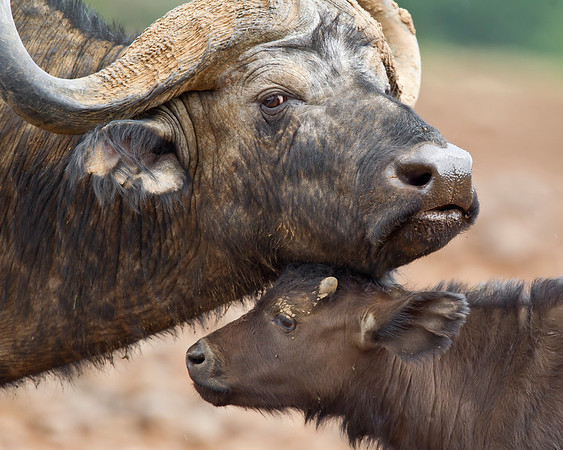 This photograph of a female and recently born Cape Buffalo was captured in Kenya, Africa (3/11).       This photograph is protected by the U.S. Copyright Laws and shall not to be downloaded or reproduced by any means without the formal written permission of Ken Conger Photography.