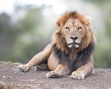 Ol Pejeta Sweetwaters Male Lion