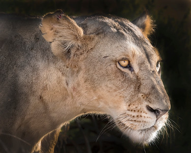 Samburu Female Lion