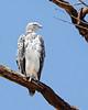 Lake Nakuru White Eagle