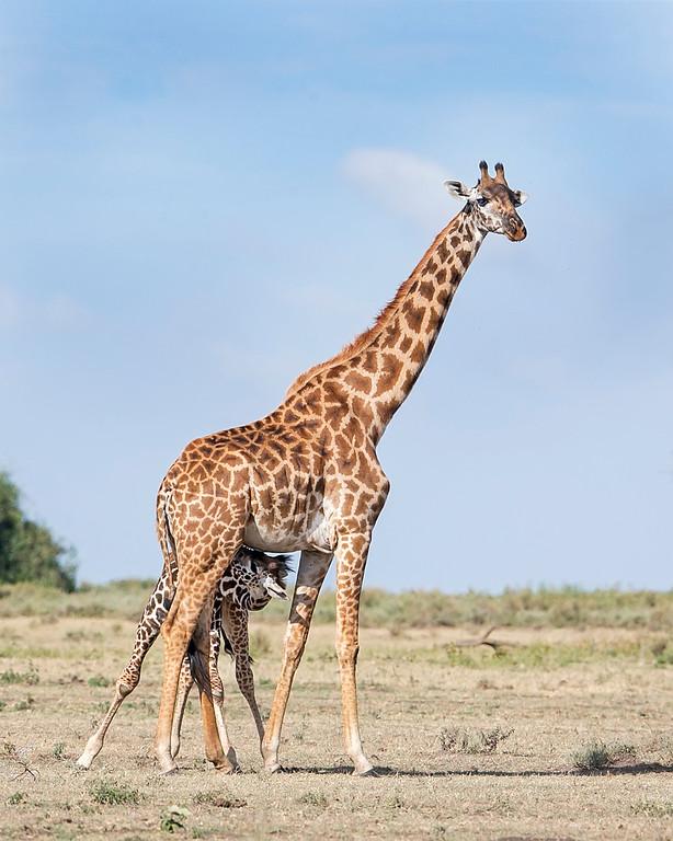 Nursing Masai Giraffe