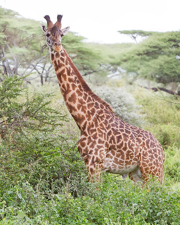 Giraffe in Tarangire National Park