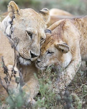 N'dutu Serengeti Lion