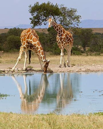 Drinking Reticulated Giraffe
