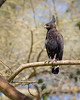 Lake Nakuru Long-crested Eagle