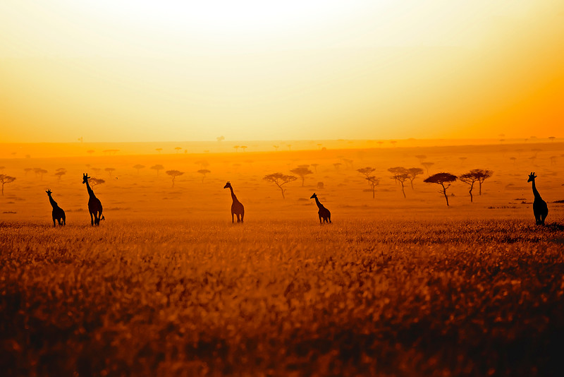 Sunset Masai Giraffes