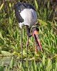 """This photograph of a Saddle-billed Stork was captured in Masai Mara, Kenya, Africa  (2/15). <font color=""""RED""""><h5>This photograph is protected by International and U.S. Copyright Laws and shall not to be downloaded or reproduced by any means without the formal written permission of Ken Conger Photography.<font color=""""RED""""></font></h5></font>"""