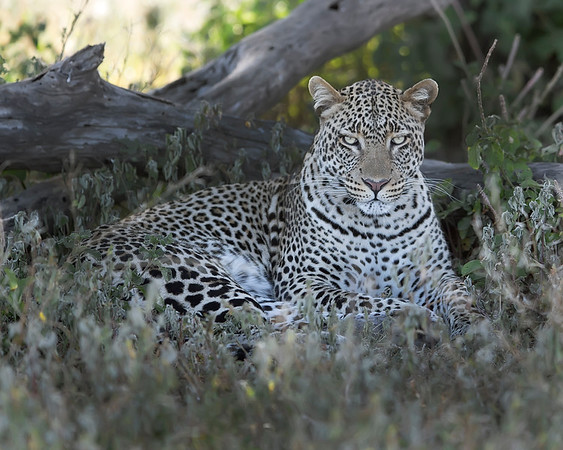 This photograph of a leopard was captured in Tarangire National Park, Tanzania, Africa (3/15). This photograph is protected by International and U.S. Copyright Laws and shall not to be downloaded or reproduced by any means without the formal written permission of Ken Conger Photography.This photograph of a was captured in  (2/15). This photograph is protected by International and U.S. Copyright Laws and shall not to be downloaded or reproduced by any means without the formal written permission of Ken Conger Photography.