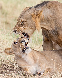 This photograph a mating pair of lions was captured in Samburu National Reserve, Kenya, Africa (2/15). This photograph is protected by International and U.S. Copyright Laws and shall not to be downloaded or reproduced by any means without the formal written permission of Ken Conger Photography.