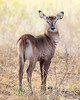 """This photograph of a Waterbuck was captured in the Masai Mara National Reserve, Kenya, Africa  (2/15). <font color=""""RED""""><h5>This photograph is protected by International and U.S. Copyright Laws and shall not to be downloaded or reproduced by any means without the formal written permission of Ken Conger Photography.<font color=""""RED""""></font></h5></font>"""
