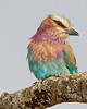 """This photograph of a Lilac-breated Roller was captured in Masai Mara, Kenya, Africa  (2/15). <font color=""""RED""""><h5>This photograph is protected by International and U.S. Copyright Laws and shall not to be downloaded or reproduced by any means without the formal written permission of Ken Conger Photography.<font color=""""RED""""></font></h5></font>"""