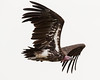 """This photograph of a Nubian Vulture was captured in Masai Mara, Kenya, Africa  (2/15). <font color=""""RED""""><h5>This photograph is protected by International and U.S. Copyright Laws and shall not to be downloaded or reproduced by any means without the formal written permission of Ken Conger Photography.<font color=""""RED""""></font></h5></font>"""