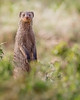 """This photograph of a Banded Mongoose was captured in the Masai Mara, Kenya, Africa  (2/15). <font color=""""RED""""><h5>This photograph is protected by International and U.S. Copyright Laws and shall not to be downloaded or reproduced by any means without the formal written permission of Ken Conger Photography.<font color=""""RED""""></font></h5></font>"""