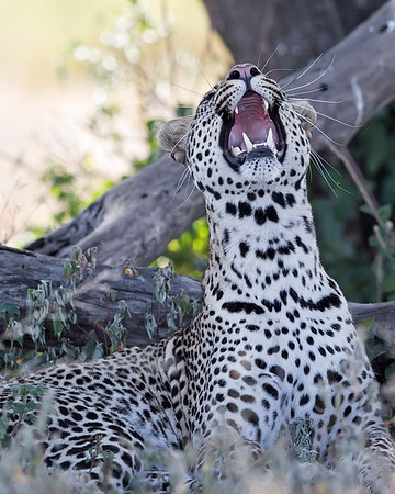 This photograph of a leopard was trying to catch flies was captured in Tarangire National Park, Tanzania, Africa (3/15). This photograph is protected by International and U.S. Copyright Laws and shall not to be downloaded or reproduced by any means without the formal written permission of Ken Conger Photography.This photograph of a was captured in  (2/15). This photograph is protected by International and U.S. Copyright Laws and shall not to be downloaded or reproduced by any means without the formal written permission of Ken Conger Photography.