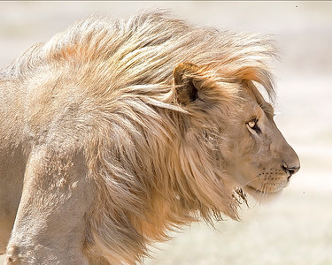 This photograph of a blond male lion was captured in  Tarangire National Park, Tanzania, Africa (3/15). This photograph is protected by International and U.S. Copyright Laws and shall not to be downloaded or reproduced by any means without the formal written permission of Ken Conger Photography.