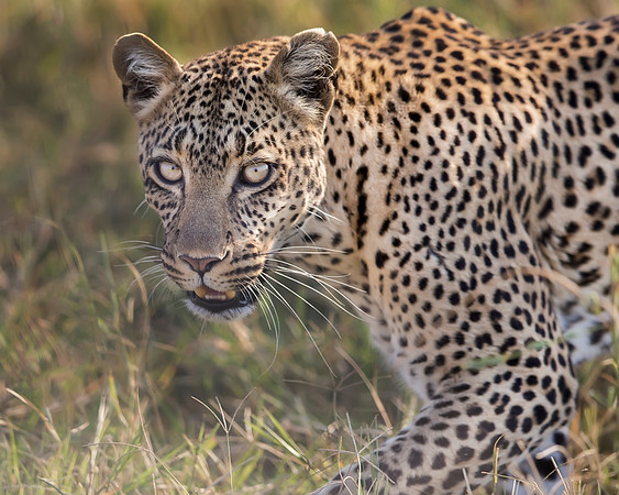 This photograph of a leopard was captured in the Serengeti National Park, Tanzania, Africa (3/15). This photograph is protected by International and U.S. Copyright Laws and shall not to be downloaded or reproduced by any means without the formal written permission of Ken Conger Photography.This photograph of a was captured in  (2/15). This photograph is protected by International and U.S. Copyright Laws and shall not to be downloaded or reproduced by any means without the formal written permission of Ken Conger Photography.