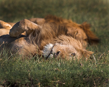 This photograph of a two male lions was captured in  Ngorongoro Conservation Area, Tanzania, Africa (3/15). This photograph is protected by International and U.S. Copyright Laws and shall not to be downloaded or reproduced by any means without the formal written permission of Ken Conger Photography.