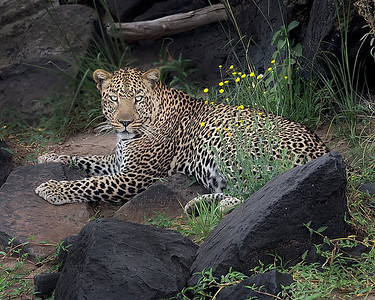 This photograph of a leopard was captured in the Maasai Mara National Reserve, Kenya, Africa (2/15). This photograph is protected by International and U.S. Copyright Laws and shall not to be downloaded or reproduced by any means without the formal written permission of Ken Conger Photography.This photograph of a was captured in  (2/15). This photograph is protected by International and U.S. Copyright Laws and shall not to be downloaded or reproduced by any means without the formal written permission of Ken Conger Photography.This photograph of a was captured in  (2/15). This photograph is protected by International and U.S. Copyright Laws and shall not to be downloaded or reproduced by any means without the formal written permission of Ken Conger Photography.
