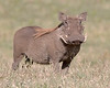 """This photograph of a Warthog was captured in the Masai Mara, Kenya, Africa  (2/15). <font color=""""RED""""><h5>This photograph is protected by International and U.S. Copyright Laws and shall not to be downloaded or reproduced by any means without the formal written permission of Ken Conger Photography.<font color=""""RED""""></font></h5></font>"""