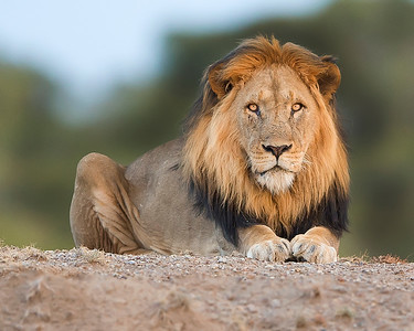 This photograph of a male lion was captured in  Ol Pejeta Conservancy or Sweets Waters, Kenya, Africa (2/15). This photograph is protected by International and U.S. Copyright Laws and shall not to be downloaded or reproduced by any means without the formal written permission of Ken Conger Photography.