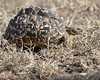 """This photograph of a Leopard Tortoise was captured in Masai Mara , Kenya, Africa  (2/15). <font color=""""RED""""><h5>This photograph is protected by International and U.S. Copyright Laws and shall not to be downloaded or reproduced by any means without the formal written permission of Ken Conger Photography.<font color=""""RED""""></font></h5></font>"""