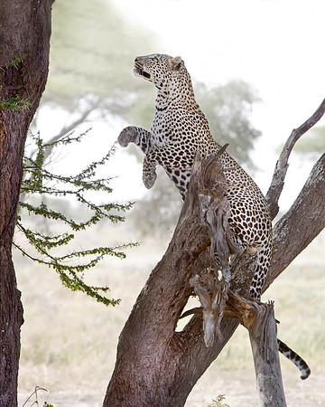 This photograph of a jumping leopard was captured in  Tarangire National Park, Tanzania, Africa (3/15). This photograph is protected by International and U.S. Copyright Laws and shall not to be downloaded or reproduced by any means without the formal written permission of Ken Conger Photography.