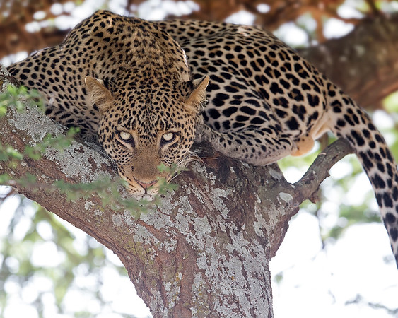 This photograph of a leopard was captured in Tarangire National Park, Tanzania, Africa (3/15). This photograph is protected by International and U.S. Copyright Laws and shall not to be downloaded or reproduced by any means without the formal written permission of Ken Conger Photography.