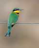 """This photograph of a Little Bee-eater was captured in Masai Mara, Kenya, Africa  (2/15). <font color=""""RED""""><h5>This photograph is protected by International and U.S. Copyright Laws and shall not to be downloaded or reproduced by any means without the formal written permission of Ken Conger Photography.<font color=""""RED""""></font></h5></font>"""