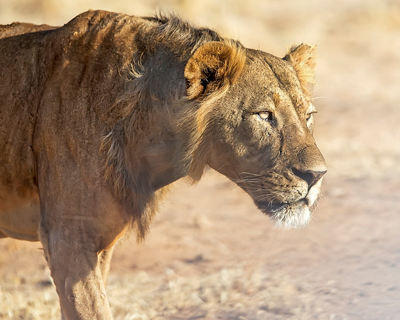 This photograph of a male lion was captured in  Samburu National Park, Kenya, Africa (2/15). This photograph is protected by International and U.S. Copyright Laws and shall not to be downloaded or reproduced by any means without the formal written permission of Ken Conger Photography.