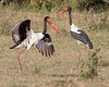 """This photograph of a Saddle-billed Storks was captured in Masai Mara, Kenya, Africa  (2/15). <font color=""""RED""""><h5>This photograph is protected by International and U.S. Copyright Laws and shall not to be downloaded or reproduced by any means without the formal written permission of Ken Conger Photography.<font color=""""RED""""></font></h5></font>"""