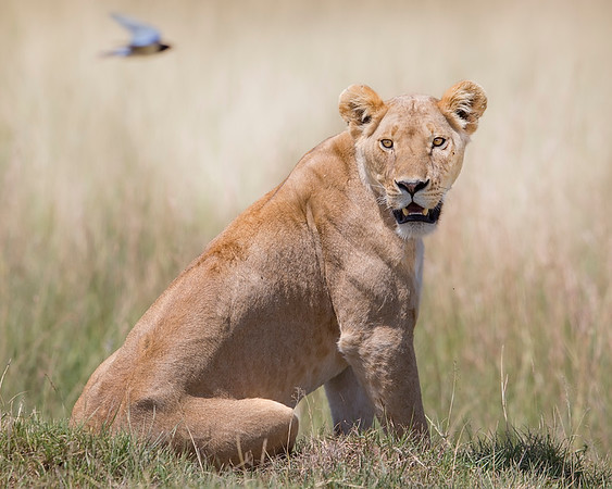 This photograph of a lion was captured in the Masaai Mara, Kenya, Africa (2/15). This photograph is protected by International and U.S. Copyright Laws and shall not to be downloaded or reproduced by any means without the formal written permission of Ken Conger Photography.