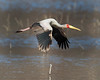 """This photograph of a Yellow-billed Stork was captured in Lake Nakuru National Park, Kenya, Africa  (2/15). <font color=""""RED""""><h5>This photograph is protected by International and U.S. Copyright Laws and shall not to be downloaded or reproduced by any means without the formal written permission of Ken Conger Photography.<font color=""""RED""""></font></h5></font>"""