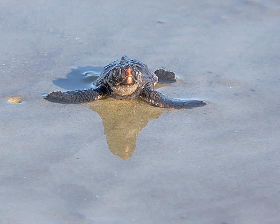 Kiawah Island Loggerhead Sea Turtle hatchling