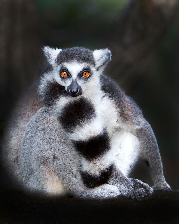 This photograph of a Ring-tailed Lemur was captured in Nahampoana Reserve in Madagascar, Africa (9/15). This photograph is protected by International and U.S. Copyright Laws and shall not to be downloaded or reproduced by any means without the formal written permission of Ken Conger Photography.