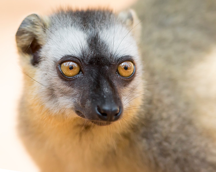 This photograph of a Red-fronted Brown Lemur was captured in Berenty Reserve in Madagascar, Africa (9/15). This photograph is protected by International and U.S. Copyright Laws and shall not to be downloaded or reproduced by any means without the formal written permission of Ken Conger Photography.