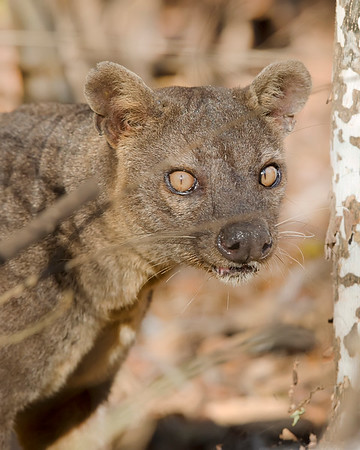 This photograph of a Fossa was captured in Kirindy Reserve in Madagascar, Africa (9/15). This photograph is protected by International and U.S. Copyright Laws and shall not to be downloaded or reproduced by any means without the formal written permission of Ken Conger Photography.