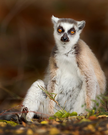 This photograph of a Ring-tailed Lemur was captured in Berenty Reserve in Madagascar, Africa (9/15). This photograph is protected by International and U.S. Copyright Laws and shall not to be downloaded or reproduced by any means without the formal written permission of Ken Conger Photography.