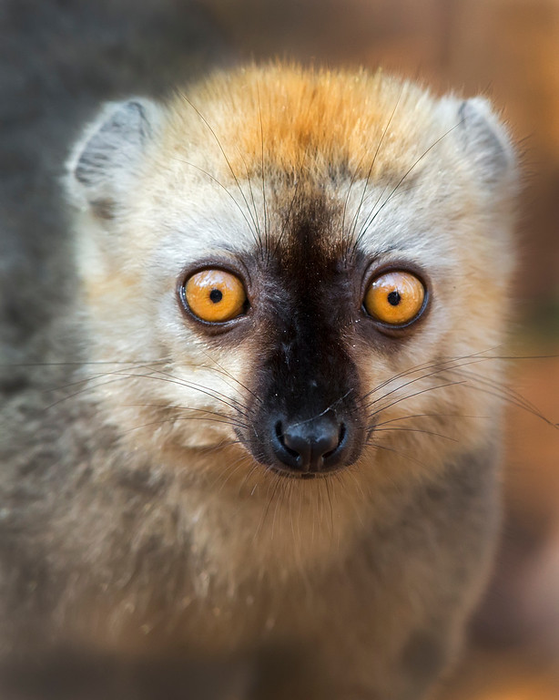 This photograph of a Red-fronted Brown Lemur was captured in Kirindy Reserve in Madagascar, Africa (9/15). This photograph is protected by International and U.S. Copyright Laws and shall not to be downloaded or reproduced by any means without the formal written permission of Ken Conger Photography.