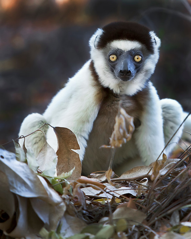 This photograph of a Verreaux's Sifaka was captured in Berenty Reserve in Madagascar, Africa (9/15). This photograph is protected by International and U.S. Copyright Laws and shall not to be downloaded or reproduced by any means without the formal written permission of Ken Conger Photography.