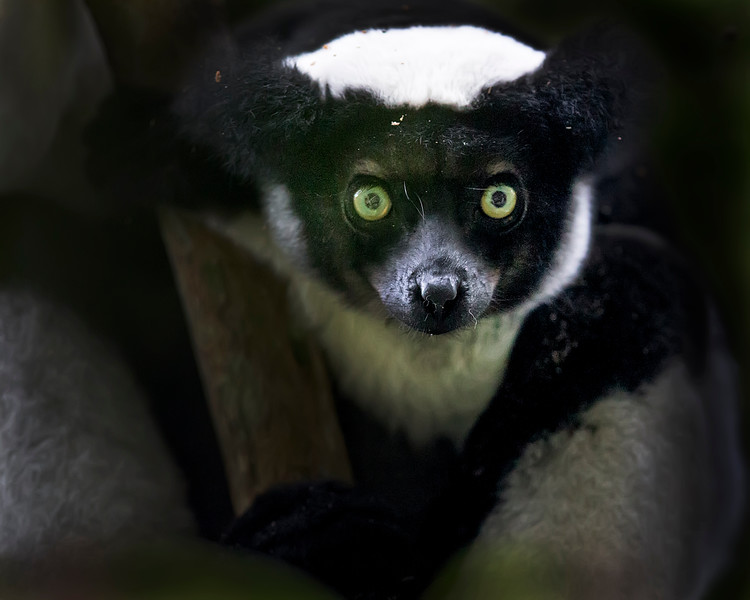 This photograph of an Indri Indri was captured in Andasibe-Mantadia National Park in Madagascar, Africa (9/15). This photograph is protected by International and U.S. Copyright Laws and shall not to be downloaded or reproduced by any means without the formal written permission of Ken Conger Photography.
