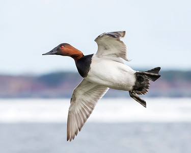 Choptank River Canvasback Duck
