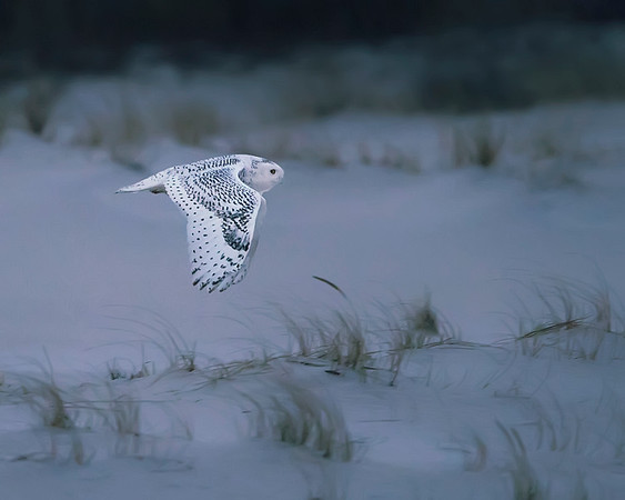 Assateague Island National Seashore Snowy Owl
