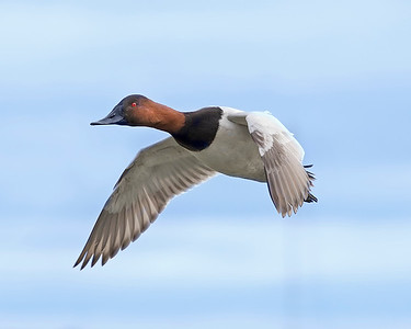 Choptank River Canvasback Duck