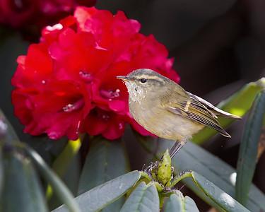 Lemon-rumped Warbler