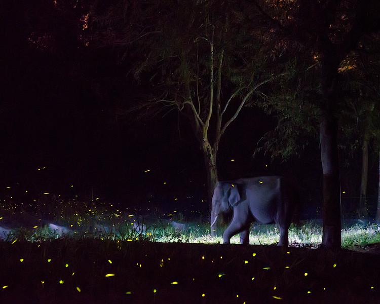 Nighttime Elephant with fireflies in Pakke Wildlife Sancturary
