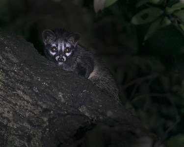 Common Palm Civet Cat
